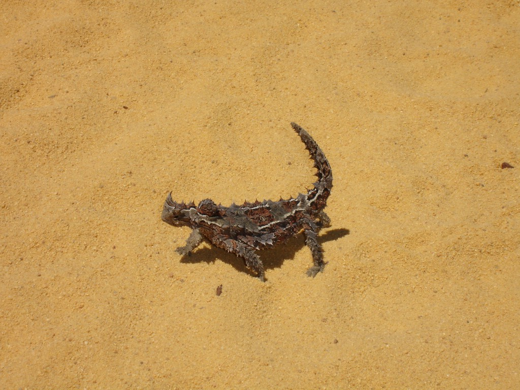Thorny Devil on road to Nature's Window