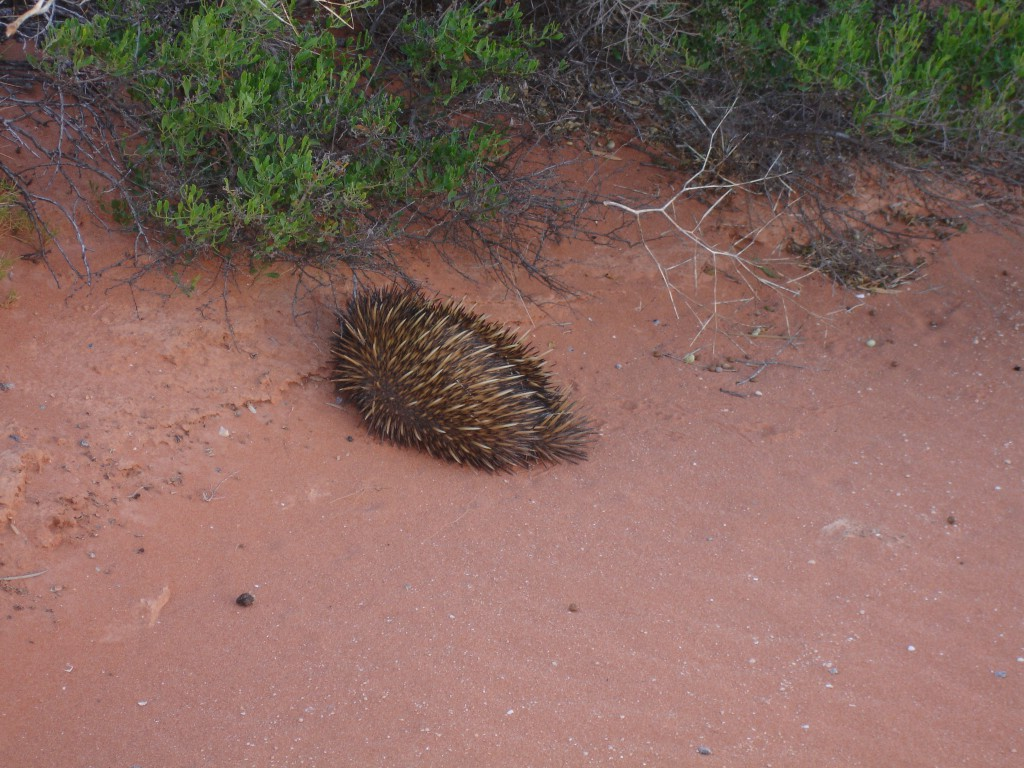 Short-beaked echidna on the road leaving Nature's Window