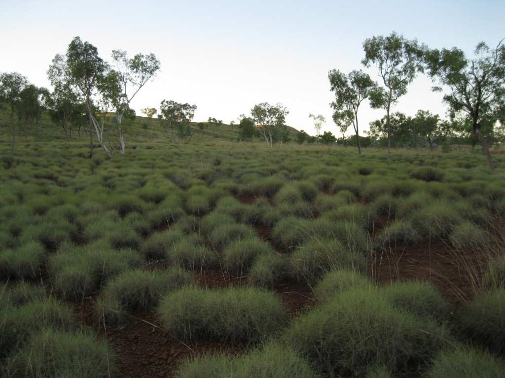 Spinifex Hummocks at Kungkalanyi