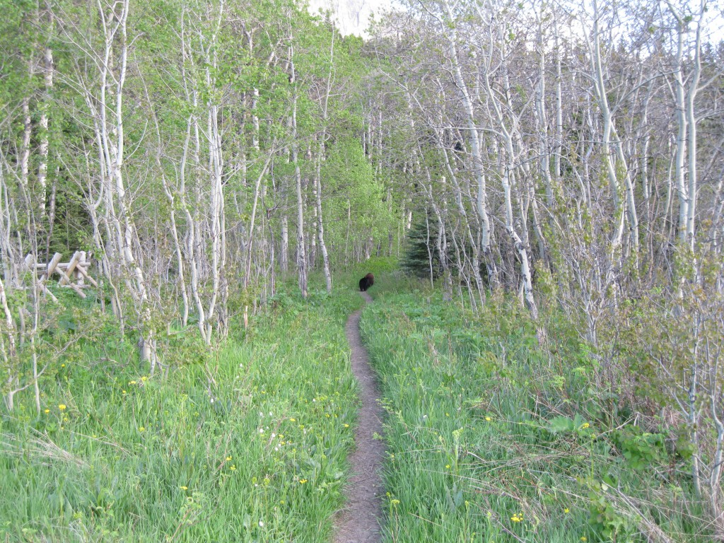 Black bears on the trail at Gable Creek