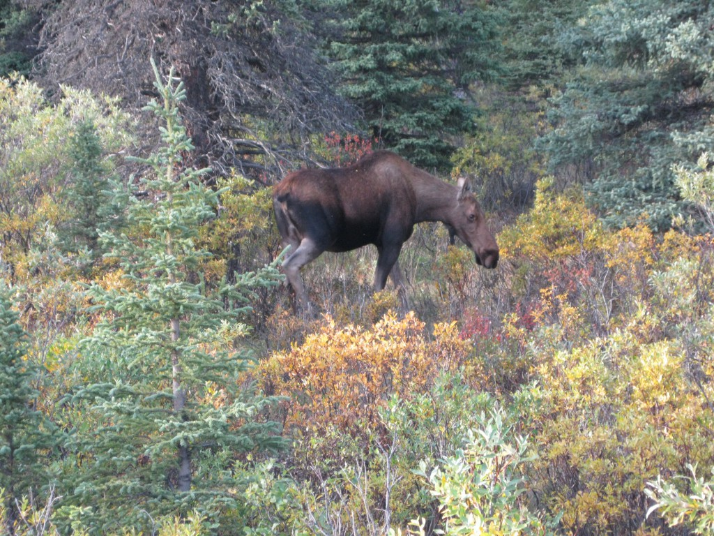 Moose strolling around in the woods