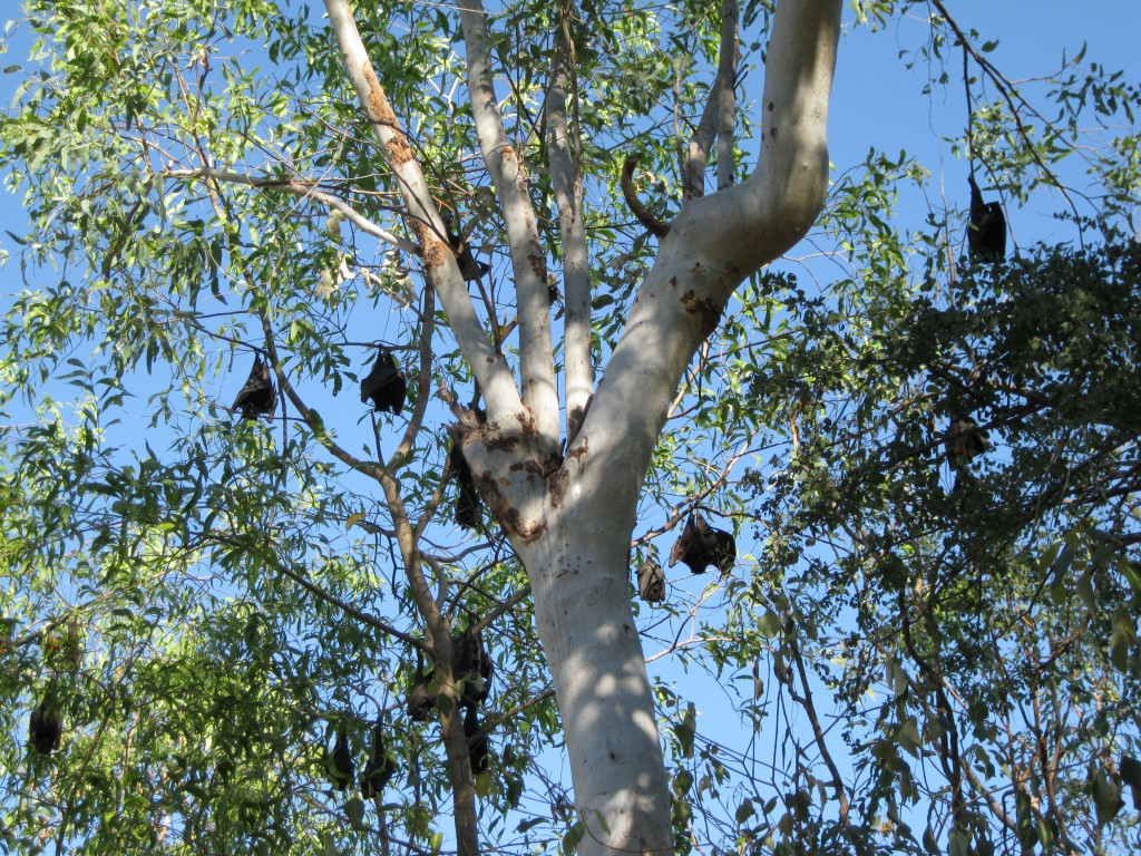 Flying Foxes at Katherine River