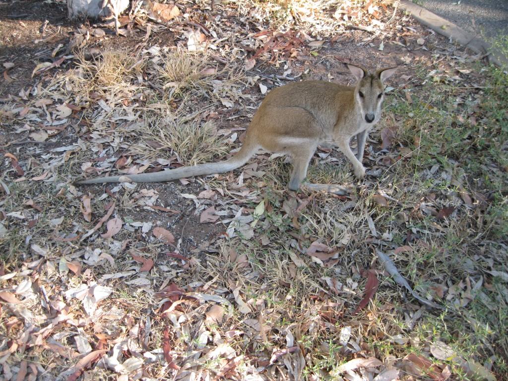 Wallaby at the Carpark at Katherine River