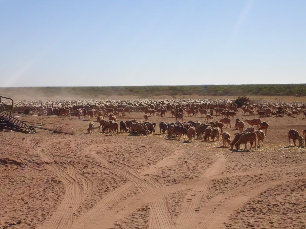 The Sheep Herd