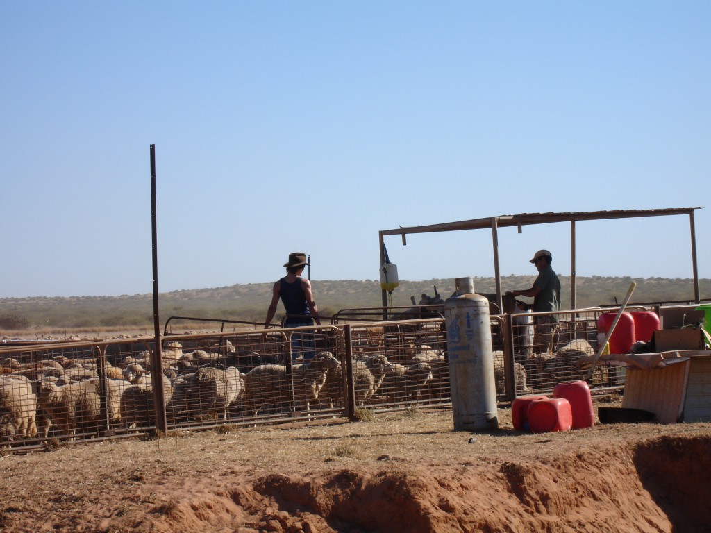 The Sheep Herd and the Workers
