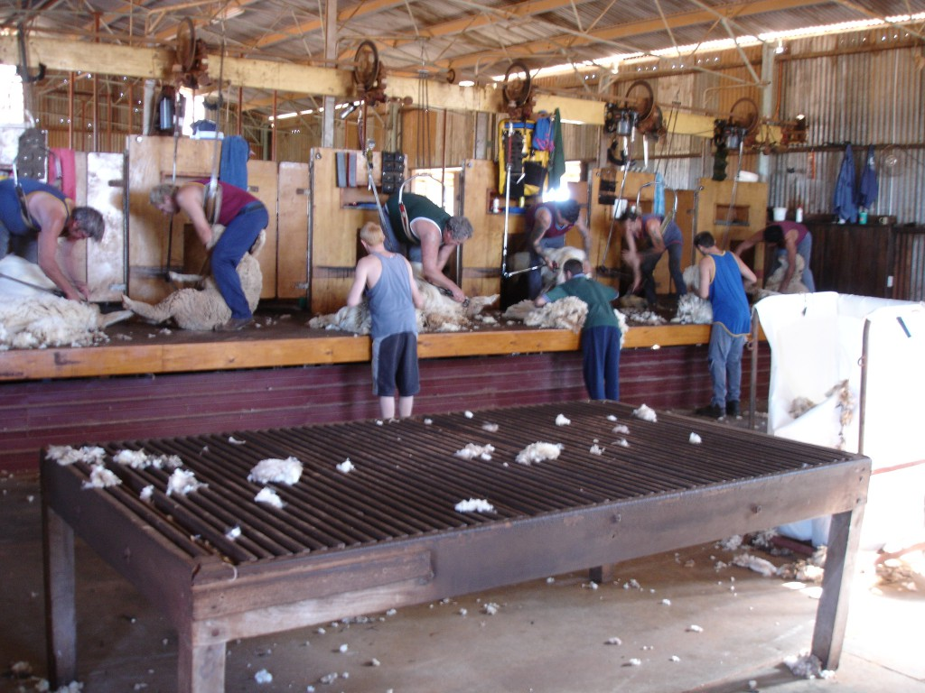 Sheep Shearers in action
