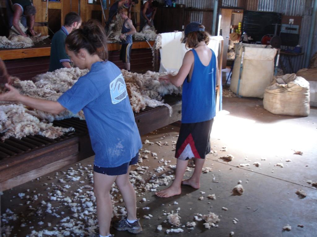 Sheep Shearers sorting the wool