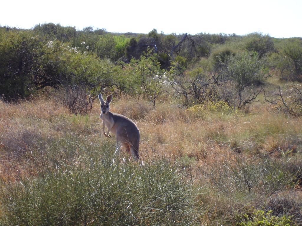 Kangaroo in the wild on the road leaving Shearer's Quarters