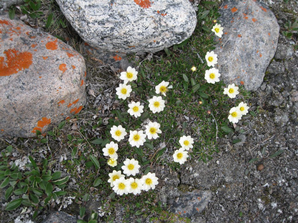Mountain Avens and Boulders with Lichen at Summit Lake