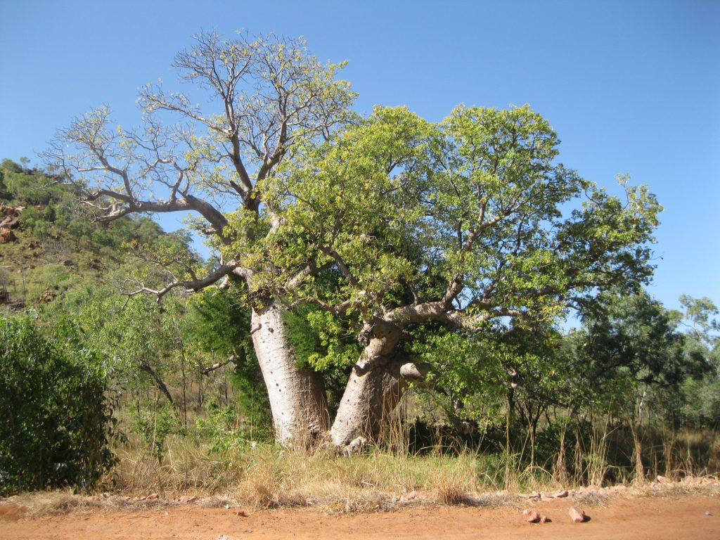 Boab Tree at the entrance to the park