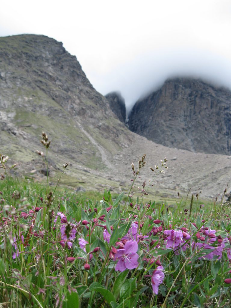 Dwarf Fireweed with peaks at Windy Lake as the backdrop